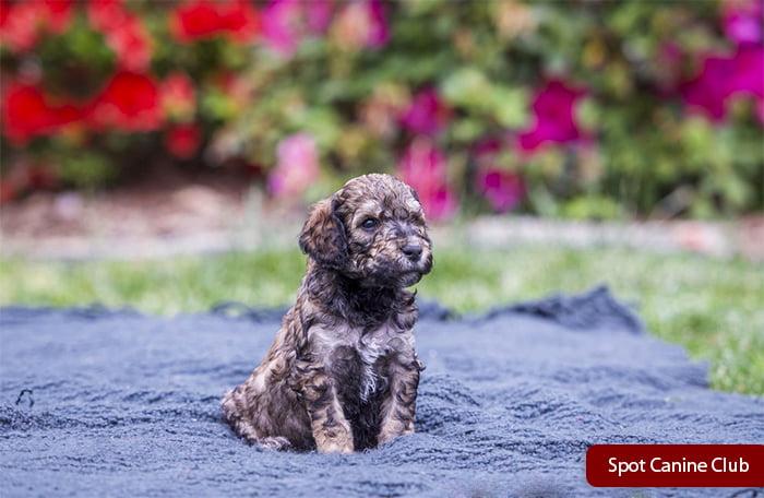 Black Golden Poodle