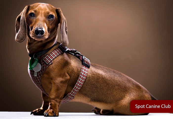 Best Dachshunds harness