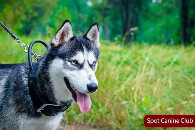 Best Shock Collars For Huskies