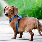 Best harness for Dachshunds Reviews and Latest Buying Guide