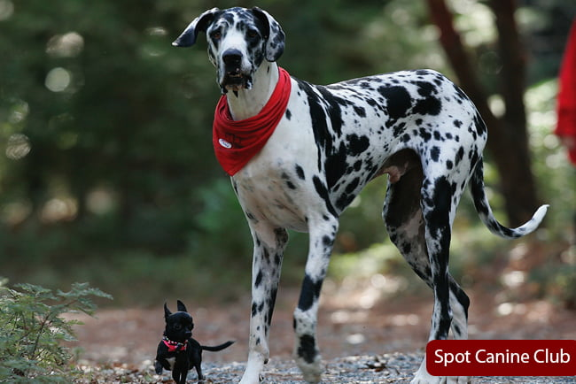 great dane and chihuahua mix