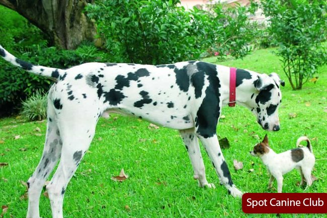 great dane mixed with chihuahua