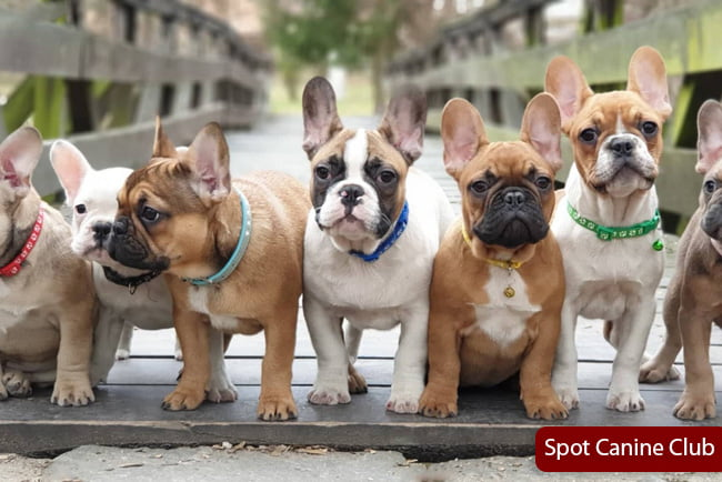 Fawn Pied French Bulldog