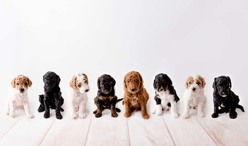 Types Colors of Goldendoodles