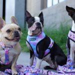 Best Harness for Boston Terrier Reviews 2022 (Buying Guide) Latest