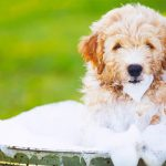 Best Shampoo For Goldendoodles Reviews 2022 | Buying Guide
