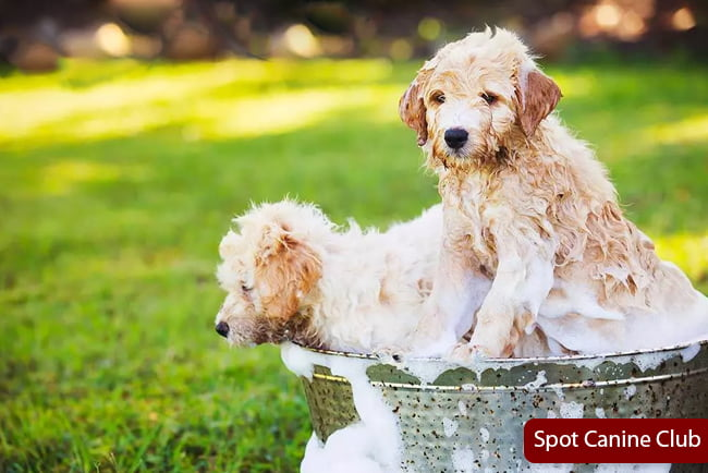 Best Shampoo For Poodles