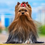 Best Brush for Yorkie Reviews   Maintaining Strong and Healthy Coat
