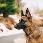 Best Shock Collar for German Shepherd