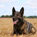German Shepherd Belgian Malinois Mix
