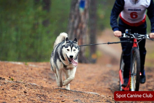 Go For Exercise With Husky