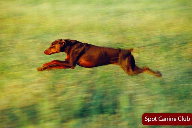How Fast Can a Doberman Pinscher Run