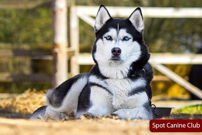 How do I get my husky to obey
