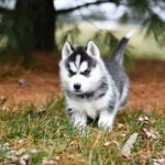 Why Are Huskies So Stubborn