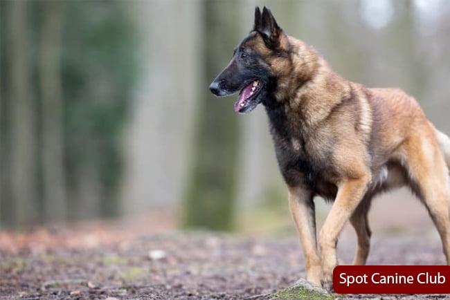 malinois german shepherd mix